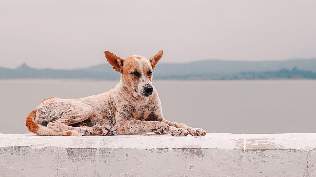 Diferencias entre perros mestizos y perros de raza pura