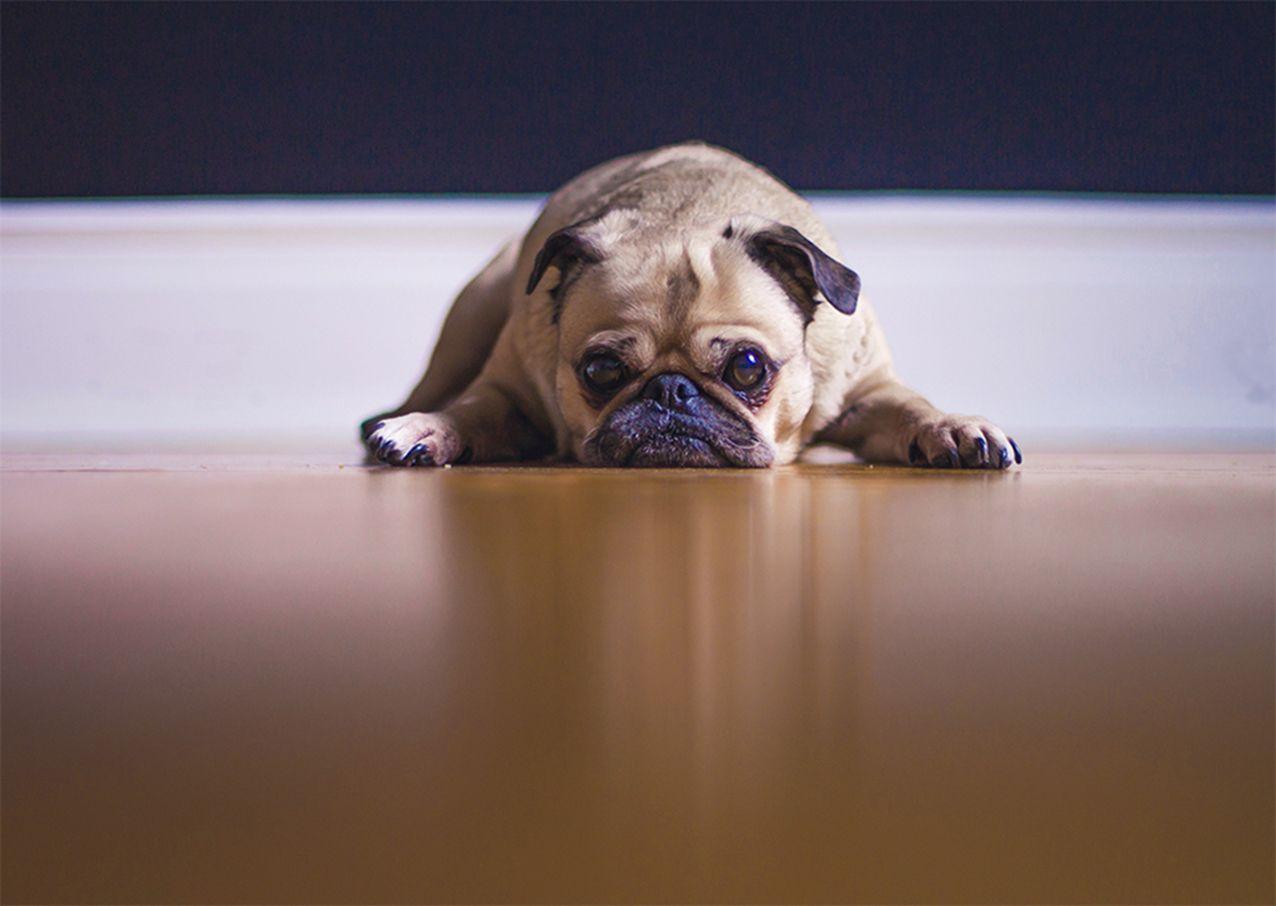 Enfermedades-comunes-de-los-Pugs