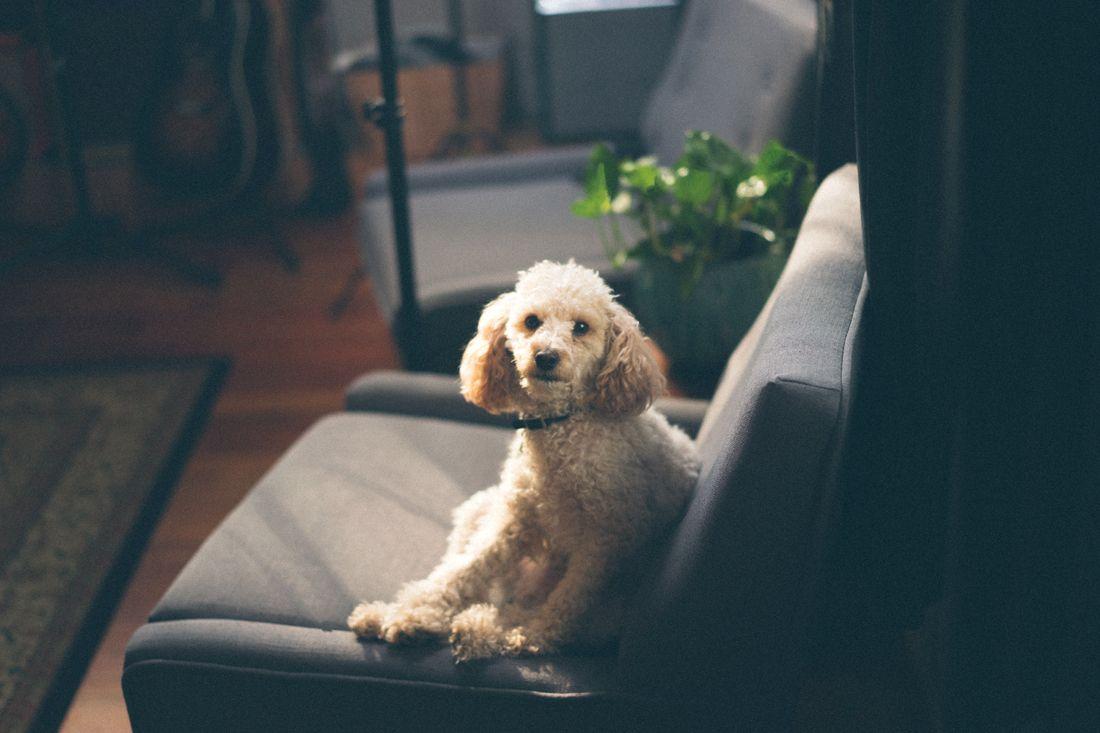 enfermedades-comunes-de-perros-Poddle-french-caniche-cual-mejor-seguro