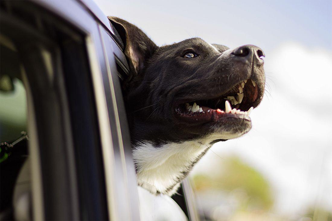 Manejando-con-tu-perro-como-pasajero